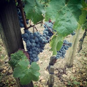 Vignes Cheval Blanc - Cabernet franc