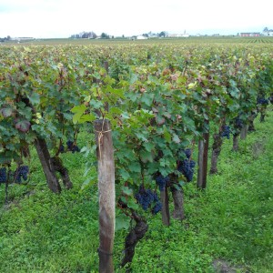 Vignes-Cheval-Blanc