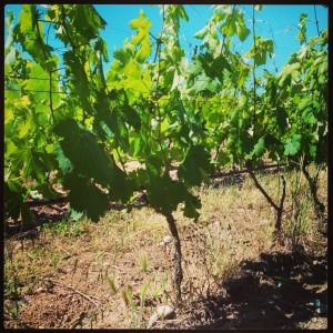 vigne-bio-paquette