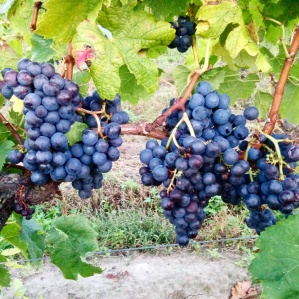 vigne Château Soutard Foodwineandstyle