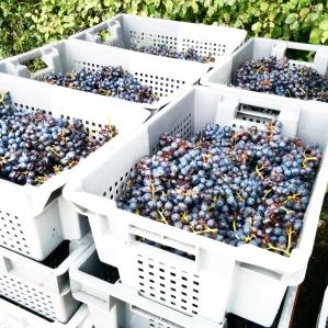 Vendange 2014 Château Soutard Saint Emilion Foodwineandstyle