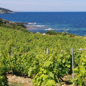 Corse vignes pieretti
